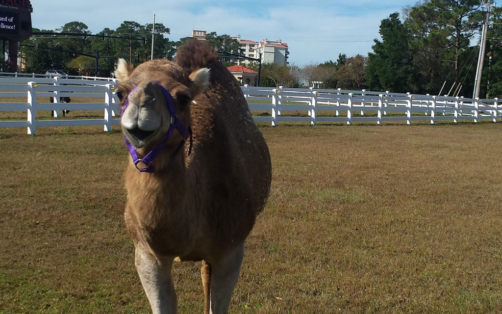 Camels Arrive At Pirates Voyage
